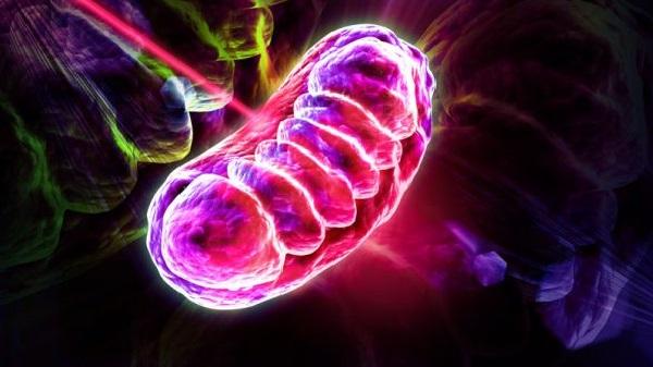 mitochondria-600x337